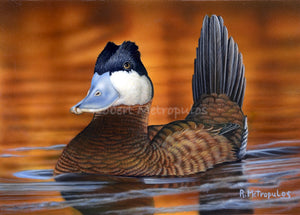 """Ruddy Duck"""