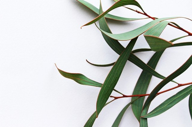 What is eucalyptus oil?