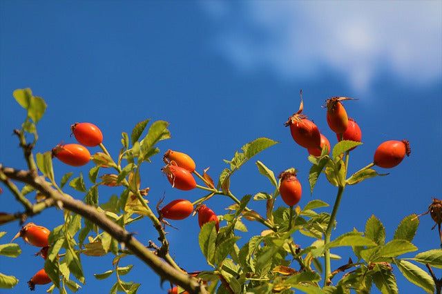 What is rosehip oil?