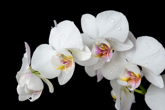 Tempered Glass Art - Orchid Wall Art Decor