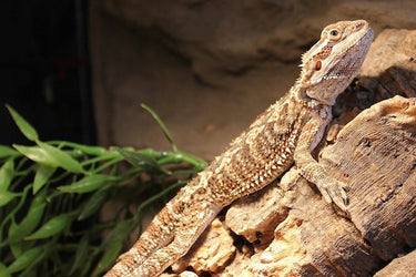 15 Bearded Dragon Behaviors and What They Could Mean