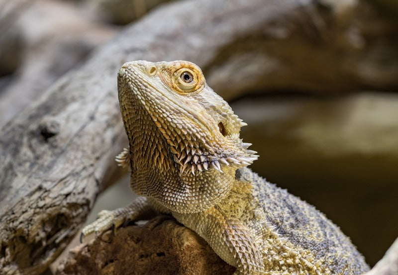 Closeup of bearded dragon near some large rocks