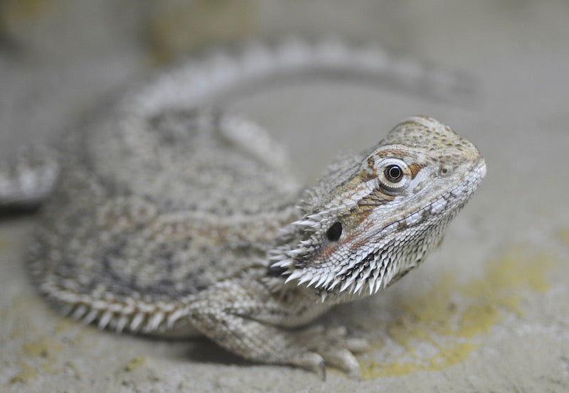 Gray and tan bearded dragon