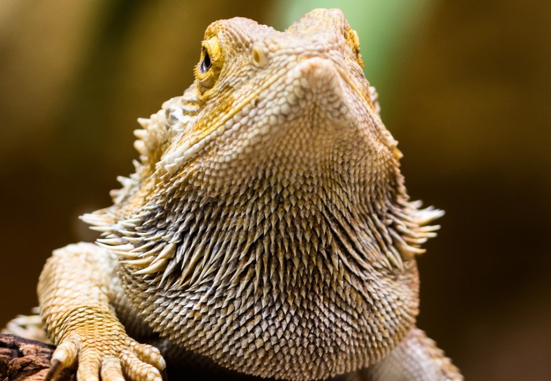 Headshot of bearded dragon