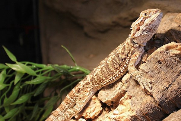 Bearded dragon on a basking rock