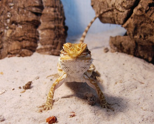 Baby bearded dragon on substrate