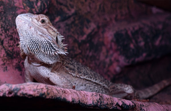 Bearded dragon on purple tinted rock