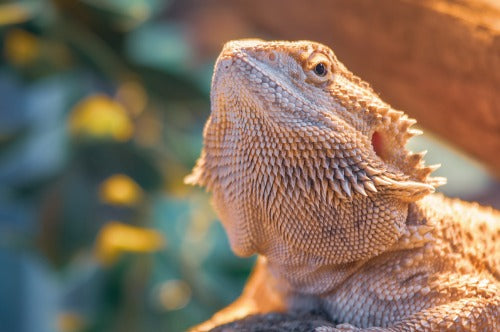 Bearded dragon headshot