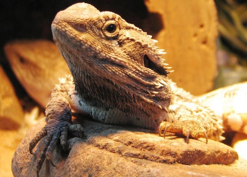 Bearded dragon leaning over a rock
