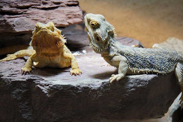 Two bearded dragons on a rock