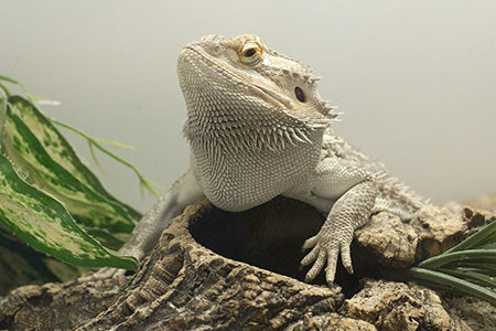 Bearded dragon perched on a log