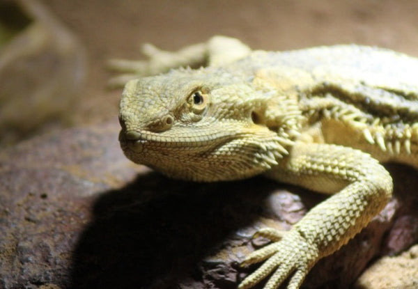 Bearded dragon crouching on a rock
