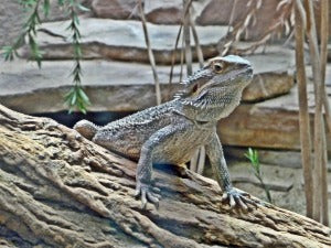 Bearded dragon by a log