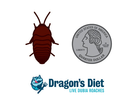 Dubia Roaches Live Feeders for Bearded Dragons