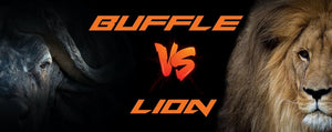 Lion vs Buffle : qui gagne ?