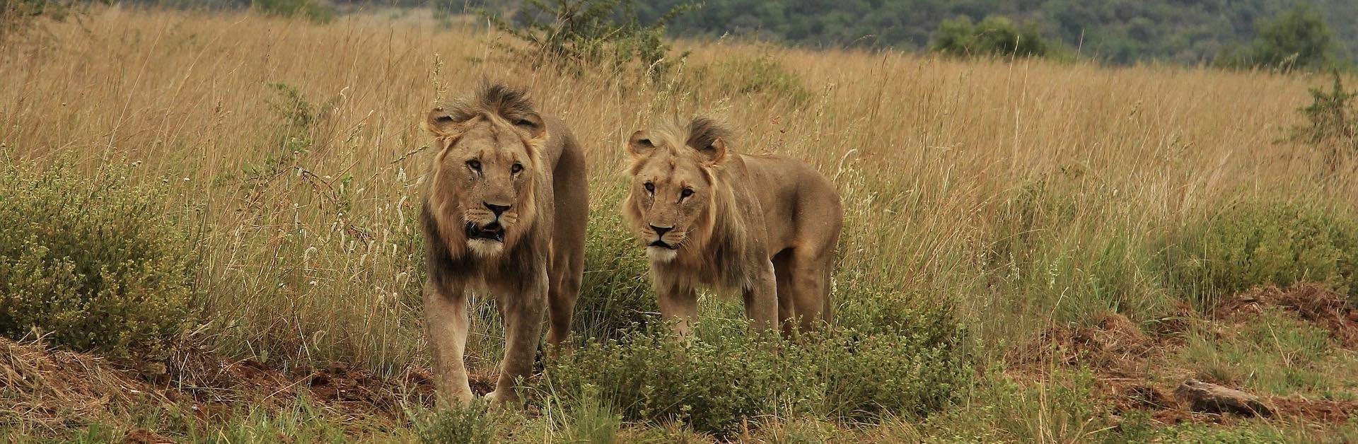 Deux Lions qui dominent dans la jungle africaine