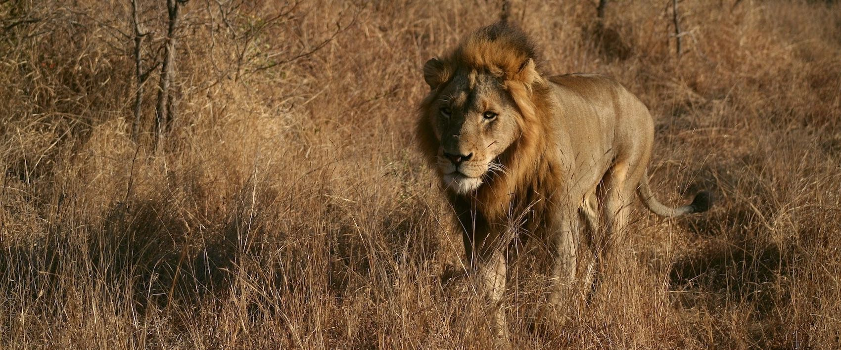 Lion male qui fuit dans la savane