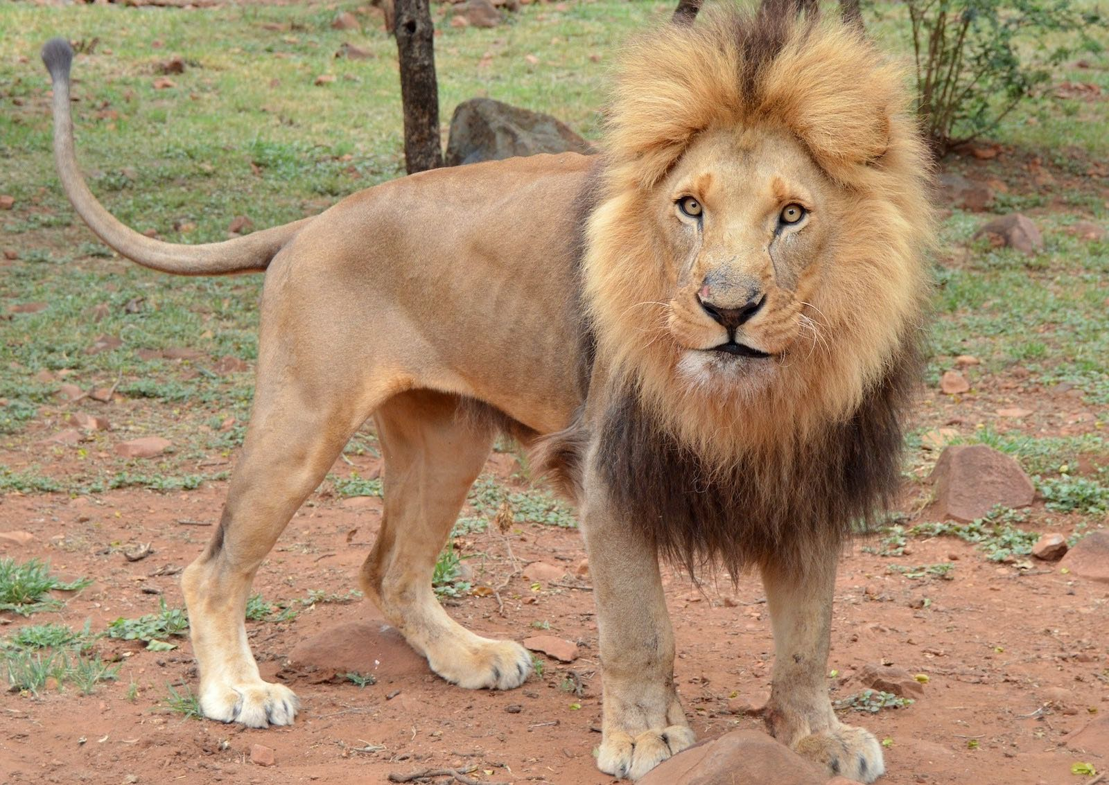 Lion male solitaire quitte le clan
