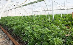 CULTIVATING THC FOR MEDICINAL USE