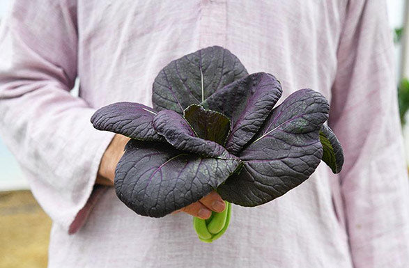 Bok Choy, Purple Lady