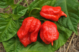 Pepper, Trinidad Scorpion