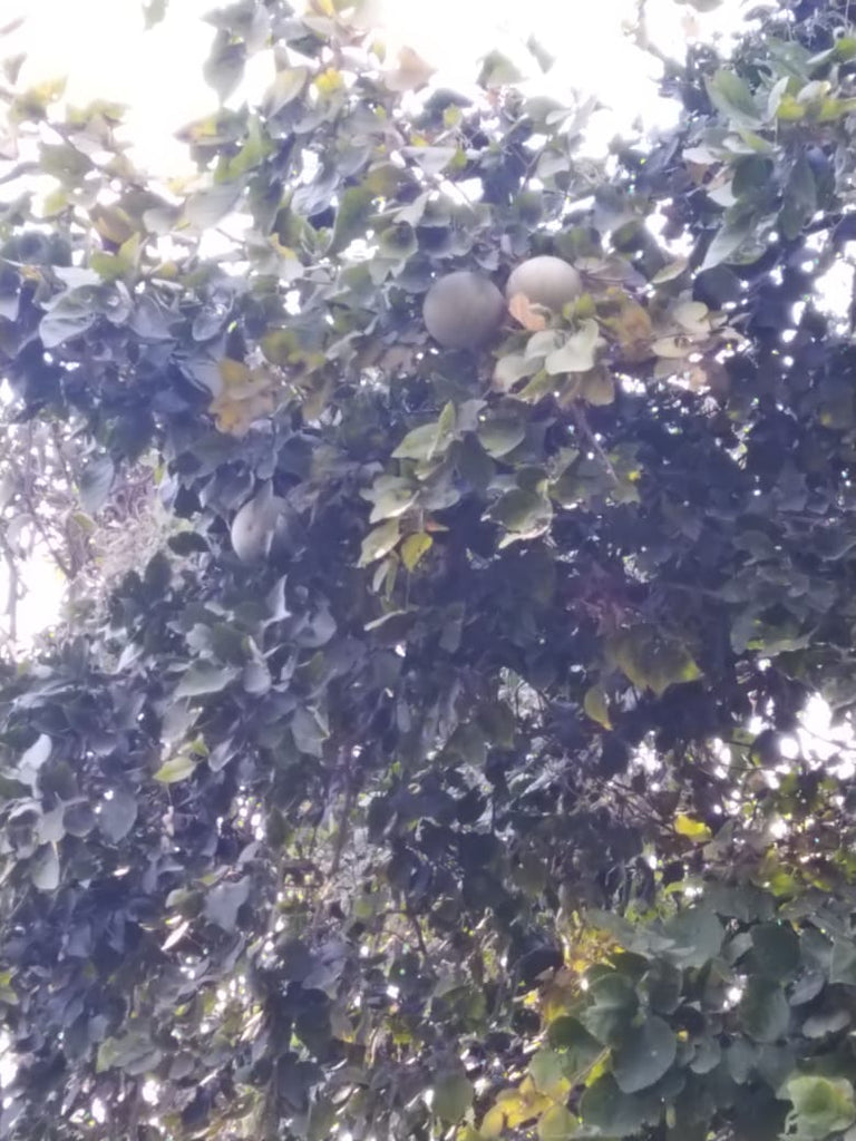 Bael Fresh Fruits from Bithoor (5-15 Fruits)