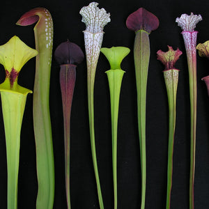 SARRACENIA COLLECTIONS
