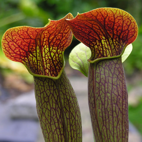 SARRACENIA ALATA - THE PALE PITCHER