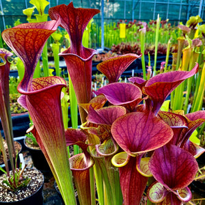 SARRACENIA FLAVA - THE YELLOW PITCHER