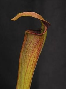 Sarracenia alata var. rubrioperculata - Red Lidded Form