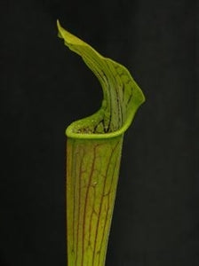 Sarracenia alata var. alata - Pubescent form, Hairy pitchers