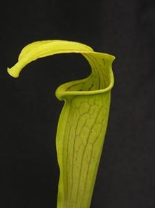 Sarracenia alata var. alata - Angelina Co., Texas