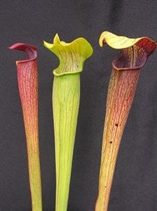 Sarracenia alata - Mixed Clones, Highway 15, Stone Co, Mississippi