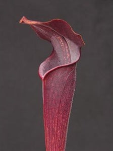 Sarracenia alata var. nigropurpurea - Black Tube, DeSoto National Forest Park, Stone Co., Mississippi