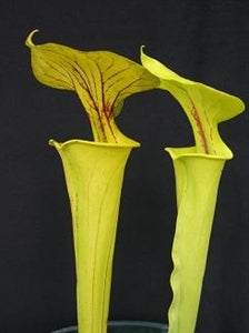 Sarracenia flava var. flava – Dorchester Co., South Carolina
