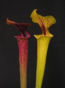 Sarracenia flava - var. ornata – Sandy Creek Road, Bay Co., Florida