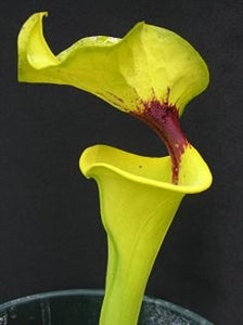 Sarracenia flava - var rugelii, Very Tall