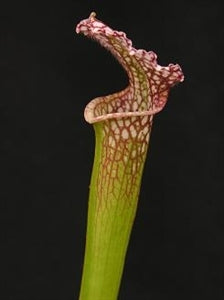 Sarracenia leucophylla - Avalon Beaches, Florida