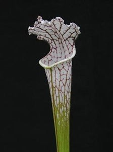 Sarracenia leucophylla var. leucophylla - Round Mouth, Gas Station Site, Perdido, Baldwin Co., Alabama