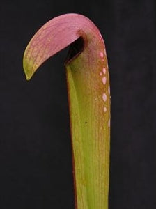Sarracenia minor var. okefenokeensis – Small