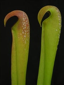 Sarracenia minor var. okeefenokeensis – Waycross, Ware Co., Georgia