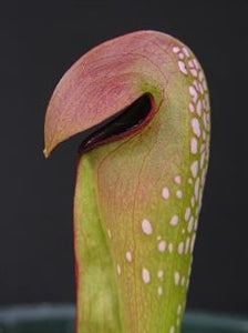 Sarracenia minor var. minor - Dorchester Co., South Carolina