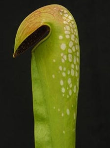Sarracenia minor var. minor - Large Form, N. Florida