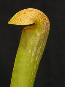 Sarracenia minor var. minor - Green Form, Fargo, Clinch Co., Georgia