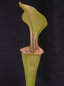 Sarracenia oreophila var. oreophila - Typical Form