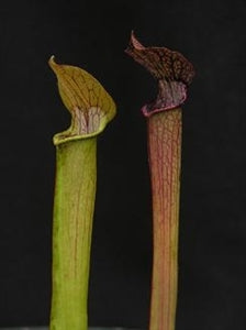 Sarracenia rubra - subsp. rubra - The Sweet Trumpet