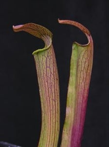 Sarracenia rubra subsp. rubra – Small Red Form, Mississippi