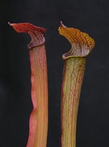 Sarracenia rubra - subsp. rubra – Boardwalk Site, Green Swamp, North Carolina