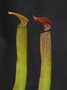 Sarracenia rubra - subsp. gulfensis – Typical, Pond Site, Eglin Reserve, FL