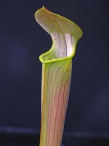 Sarracenia rubra subsp. wherryi – Short, Deer Park, Washington Co., Alabama